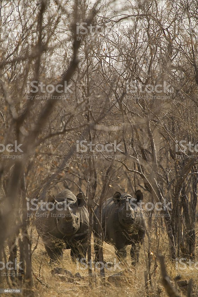 Two black rhino hiding in the african bush royalty-free stock photo