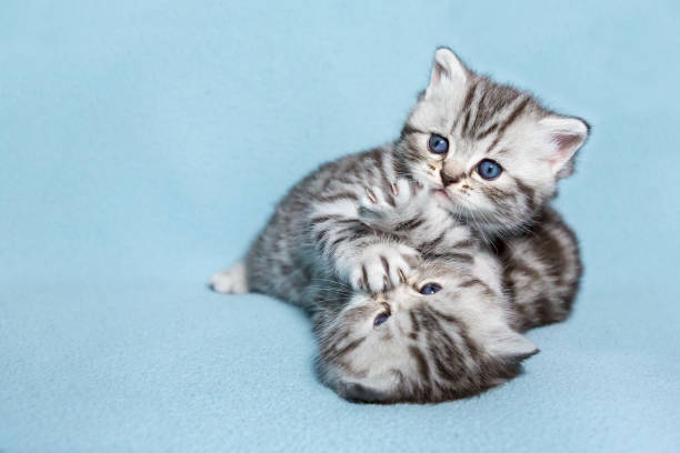 Two black silver tabby kittens playing together stock photo