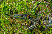 Two black snakes lie in the grass, mating snakes. Black snake in the grass close up