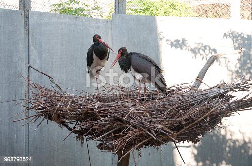 two black storks sit in a large nest of small branches, beautiful rare birds, family, home