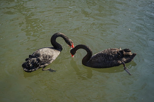 Two black swans in the water foraging for food and fish