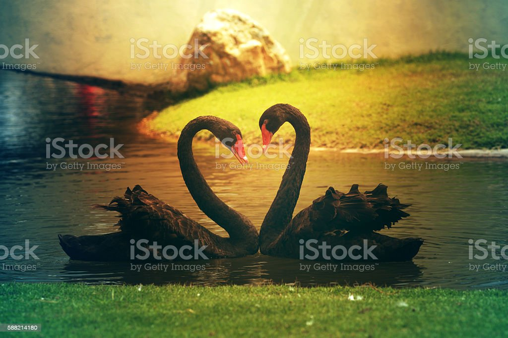 Two black swans romantically together creating a heart shape on stock photo
