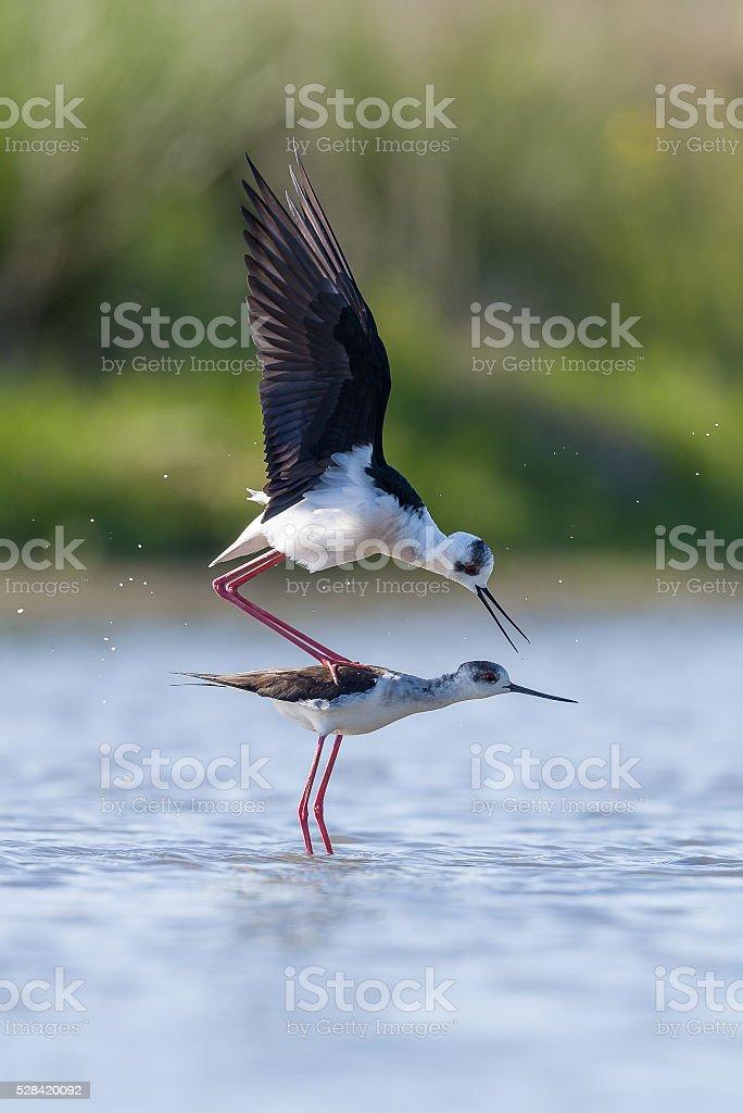 Two Black winged Stilt mating stock photo