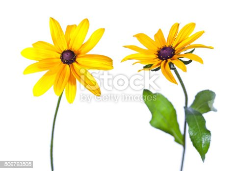 Two Black-Eyed Susan (Rudbeckia Hirta) flowers isolated on white