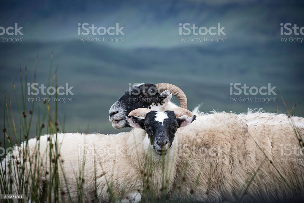 Two blackface sheep stock photo