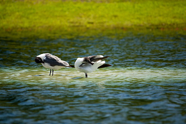 Two Blackhead Seagulls in a Lake Cleaning Themselves stock photo