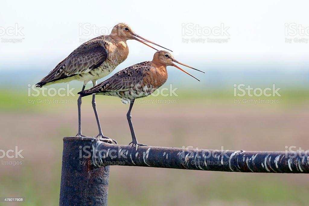 Two black-tailed godwit stock photo