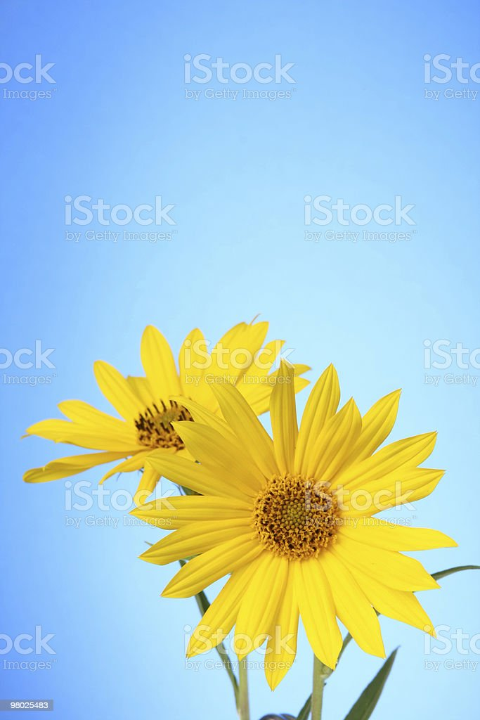 Two Blooms at the Bottom of Vertical Space royalty-free stock photo