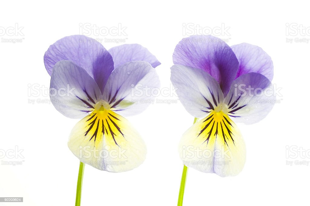 Two Blue and Yellow Pansies Isolated on White Background royalty-free stock photo