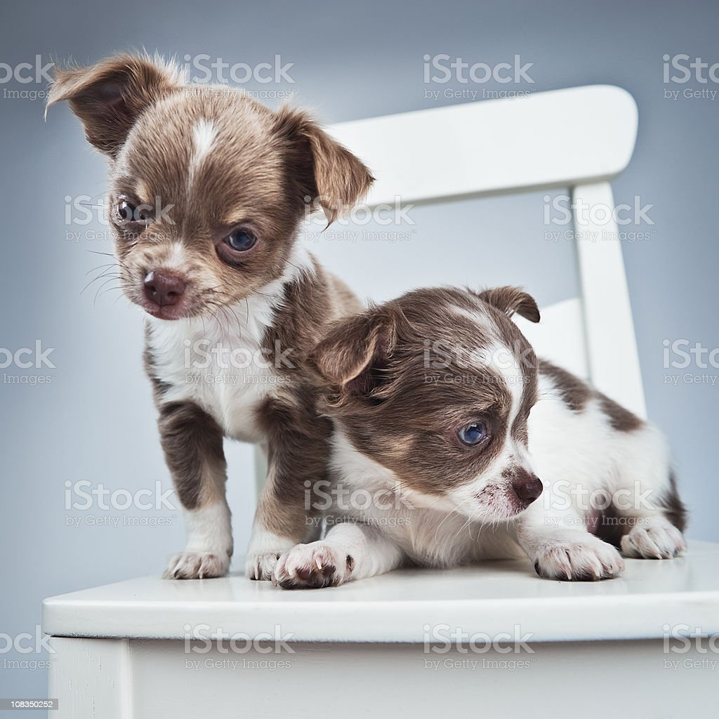 two blue chihuahua puppies stock photo