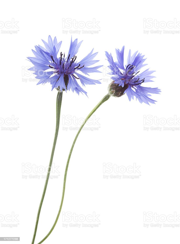 Two Blue Cornflowers ( Centaurea cyanus ). stock photo