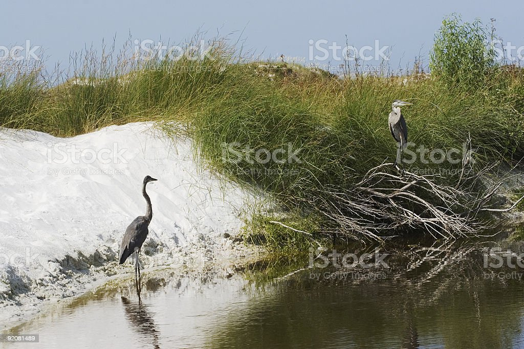 Two Blue Herons royalty-free stock photo