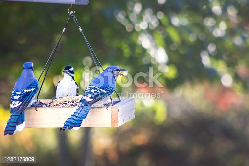 istock Two Blue Jays and a woodpecker at backyard bird feeder 1282176809