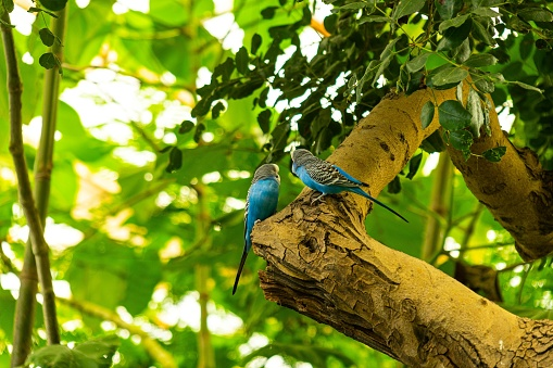 Two blue parrots perched in a tree