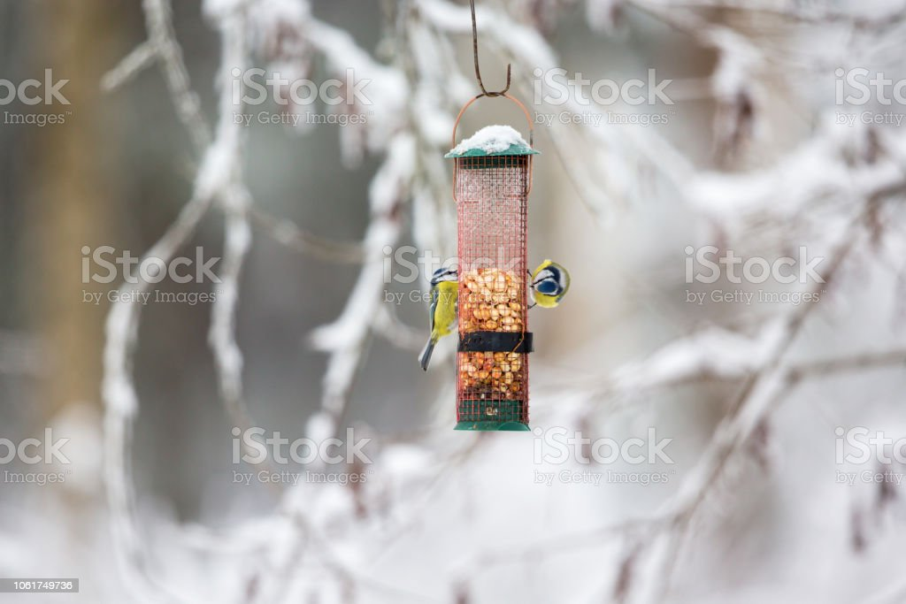 Two Blue tits eating from a bird feeder stock photo