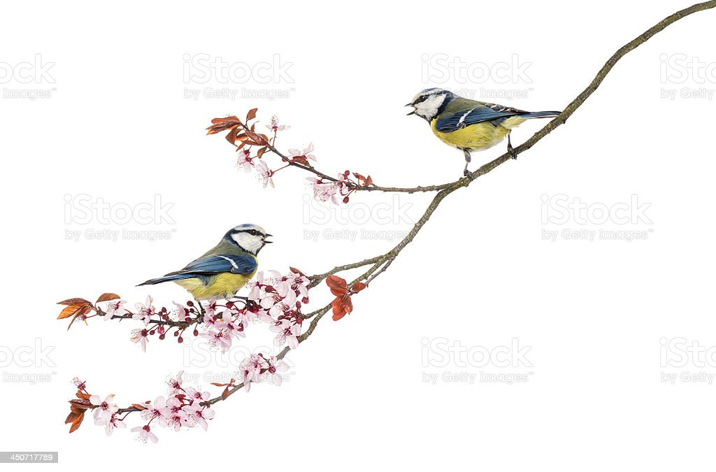 Two Blue Tits whistling on a branch, Cyanistes caeruleus royalty-free stock photo