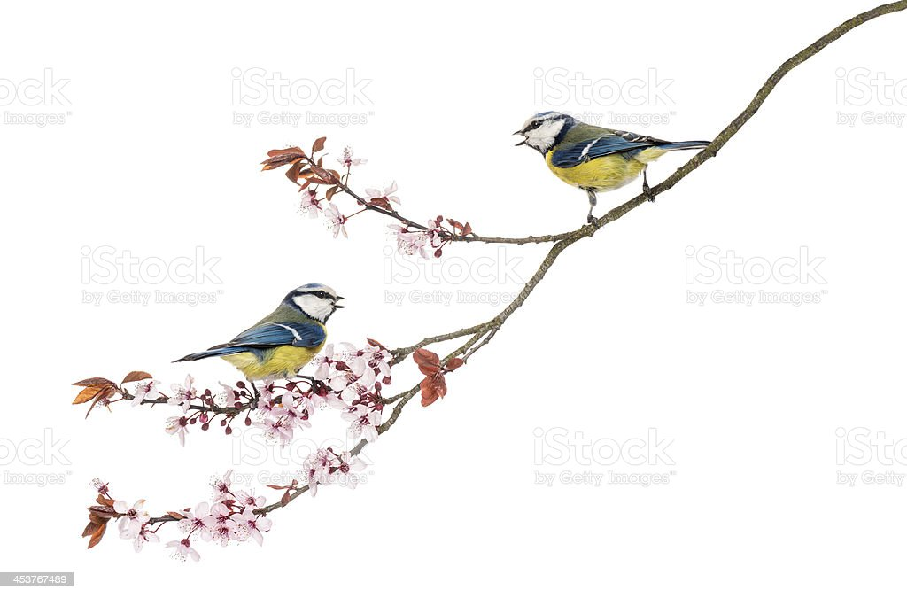 Two Blue Tits whistling on a flowering branch, Cyanistes caerule stock photo