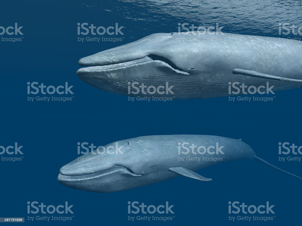 Two Blue Whales stock photo