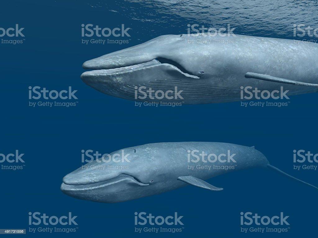Две голубые Whales стоковое фото