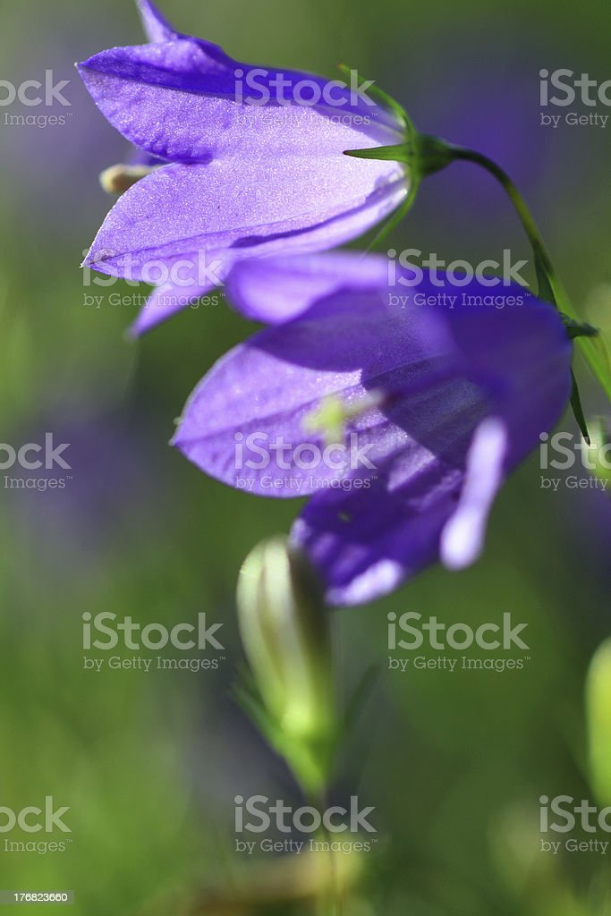 Two bluebells royalty-free stock photo