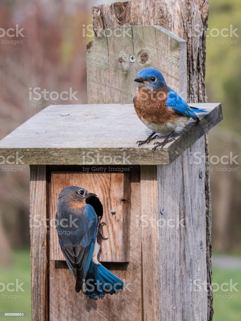 Two bluebirds on a wooden birdhouse in a spring meadow stock photo