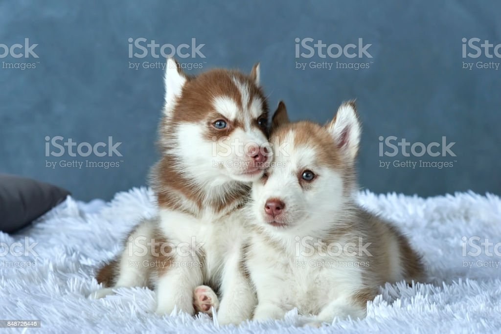 Two Blueeyed Copper And Light Red Husky Puppies Lying On White Blanket Stock Photo Download Image Now Istock