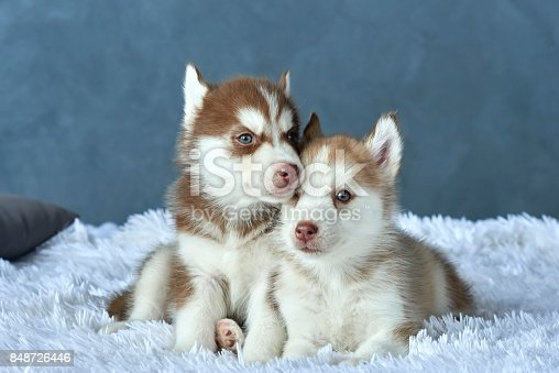 Two Blueeyed Copper And Light Red Husky Puppies Lying On White