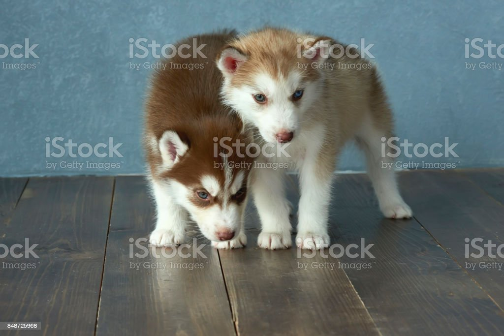 Two Blueeyed Copper And Light Red Husky Puppies On Wooden Floor And Grayblue Background Stock Photo Download Image Now Istock