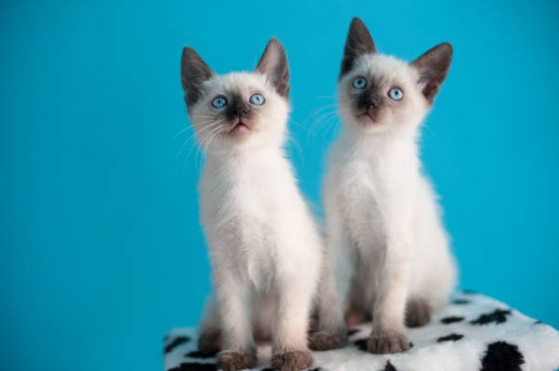 Two blueeyed siamese kitten on a blue background picture id1127863923?b=1&k=6&m=1127863923&s=612x612&w=0&h=gcpcbo11zftiyyps9rpypy0pzgs56q1uxflpyy8nr5k=