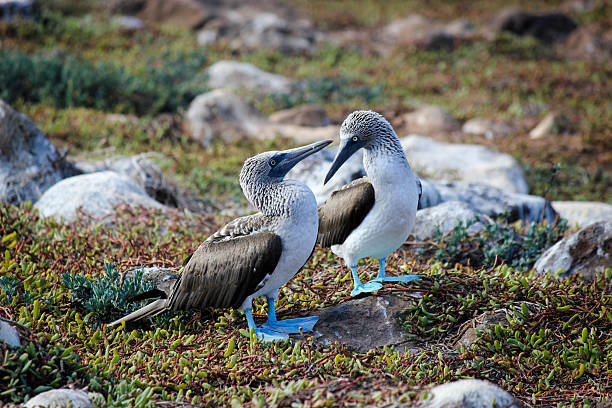 Two Blue-Footed Boobys stock photo