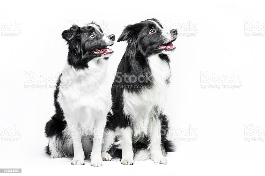 Two border collie sitting on a white background foto