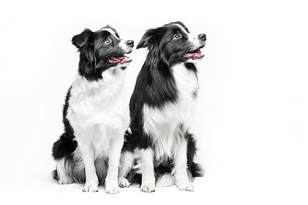 Two border collie sitting on a white background stock photo