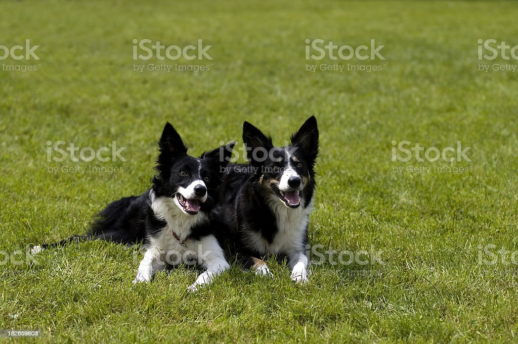 Zwei Grenze collies – Foto