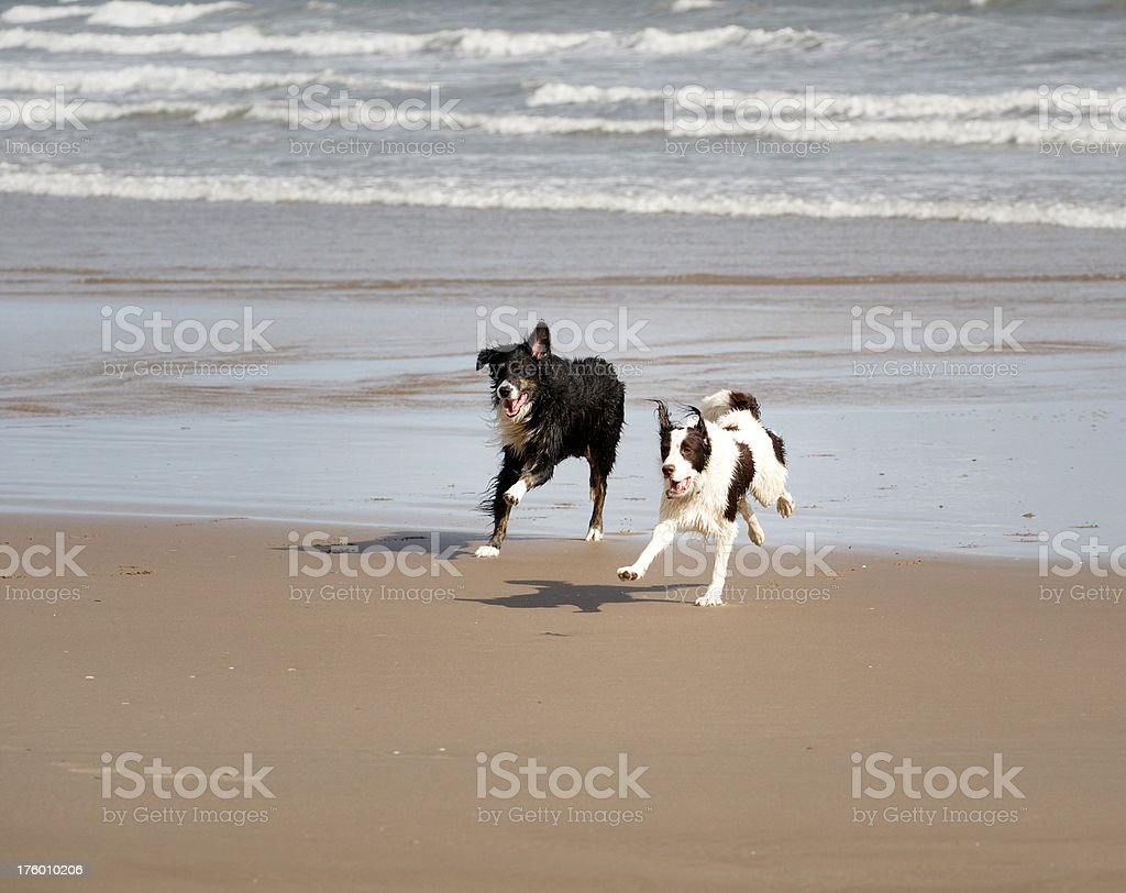 Two border collies running on the beach royalty-free stock photo