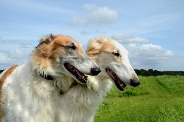 Two Borzoi Two Borzoi dogs beside each other on a green lawn, they are sisters. sight hound stock pictures, royalty-free photos & images