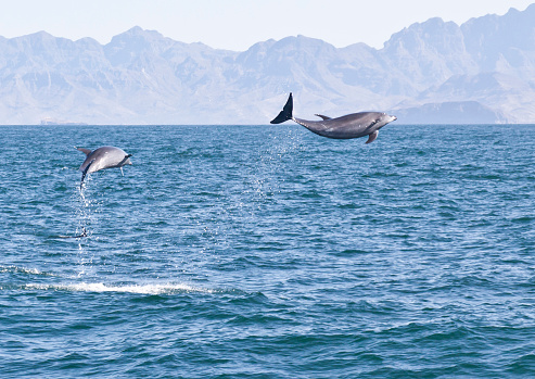 Two Common Bottle-nosed Dolphins, Tursiops truncatus, jumping out of the Sea of Cortez off Baja California, Mexico