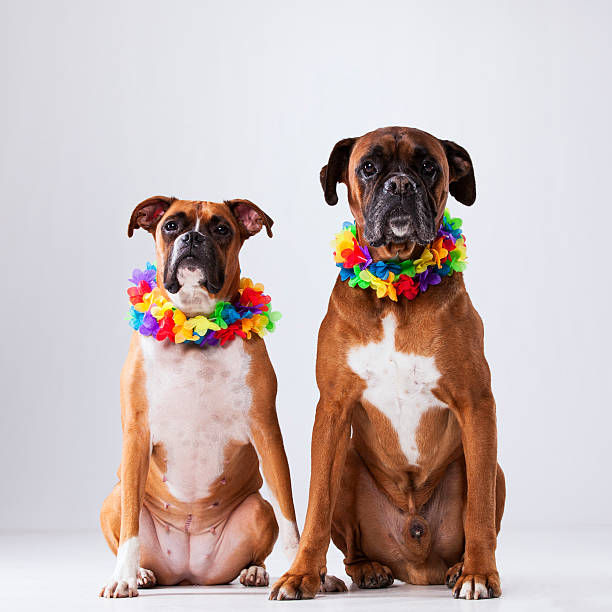 Two boxer dogs with hawaii neckless picture id509669574?b=1&k=6&m=509669574&s=612x612&w=0&h=ohgp6its4aodkxlxxocyvynshxanhlyq1qfj y7qt84=
