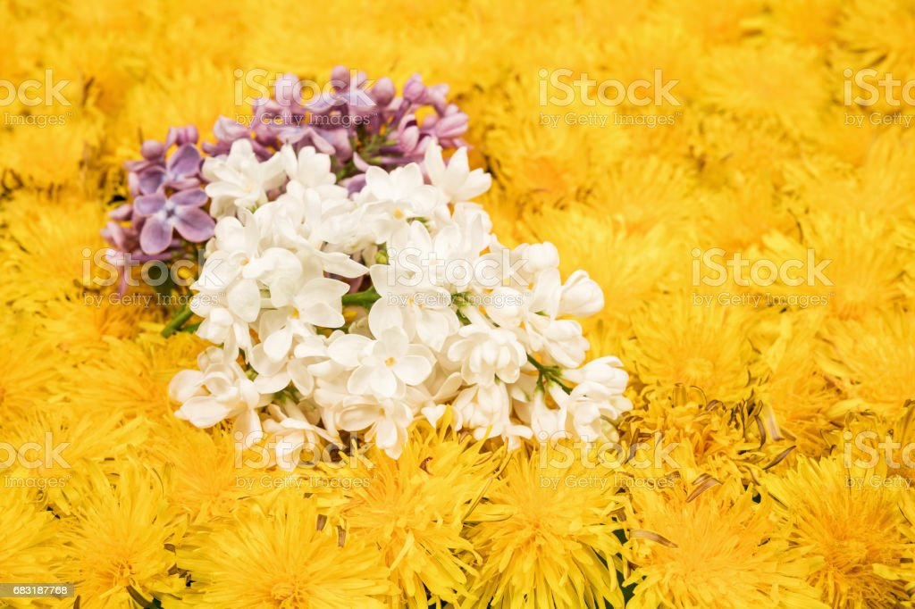 Two branches of blossoming lilac on dandelions royalty-free 스톡 사진