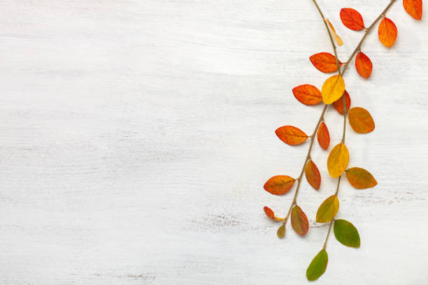 two branches with colorful autumn leaves on a white shabby wooden background. flat lay. - autumn foto e immagini stock