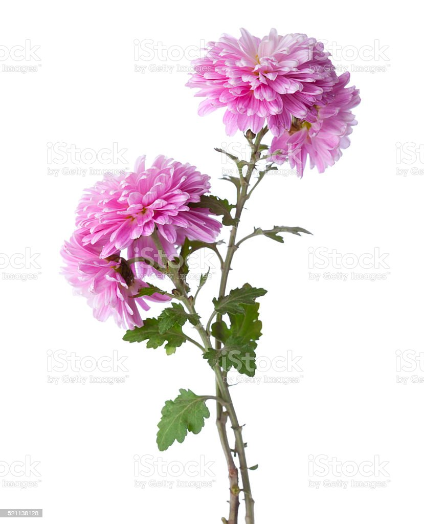 Two branches  with flowers of chrysanthemums. stock photo