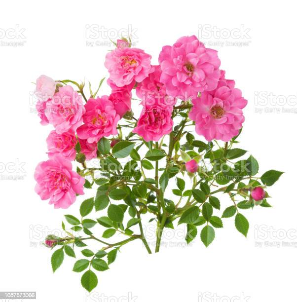 Two branches with small pink roses isolated on white background picture id1057873066?b=1&k=6&m=1057873066&s=612x612&h=ikradmwkmpxn4 avnzpr7gs5ie q1ax3ctqbr2wjz40=