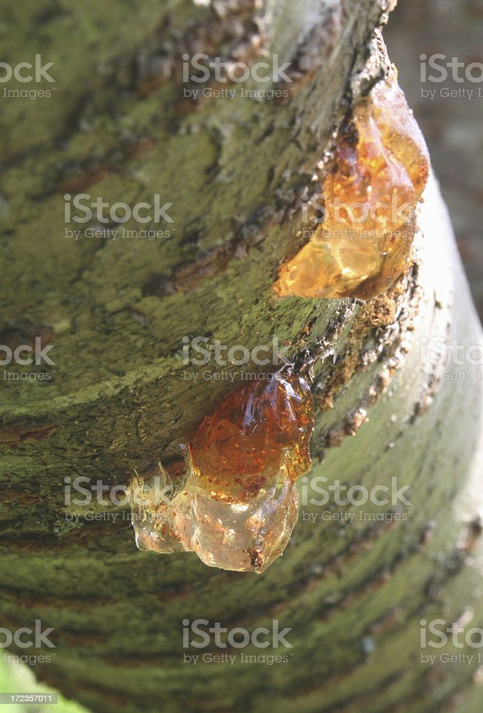 Two bright blobs of tree sap royalty-free stock photo