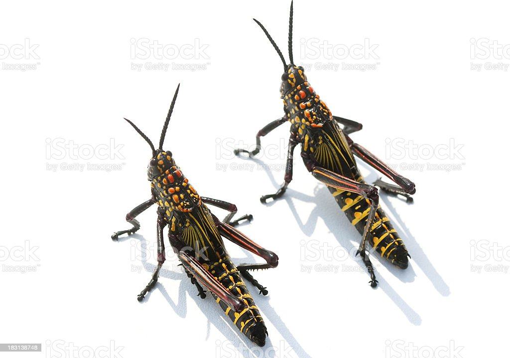 Two bright locusts royalty-free stock photo