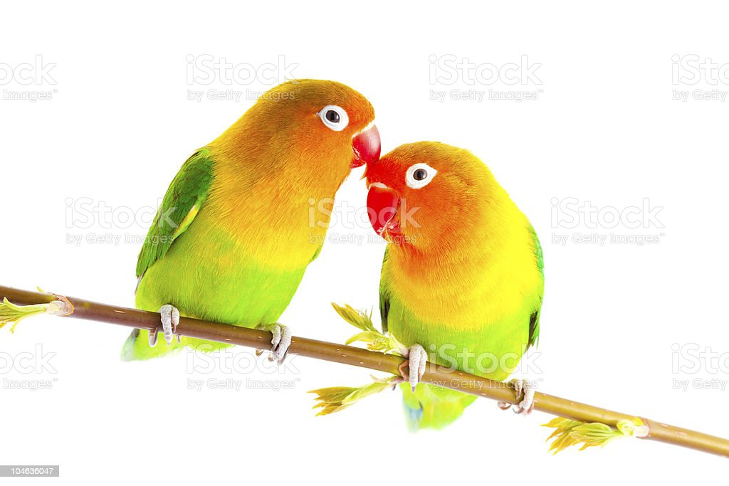 Two bright lovebirds on a branch royalty-free stock photo