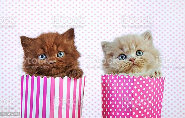 Two british kittens picture id492317416?b=1&k=6&m=492317416&s=612x612&h= jo3uuqqyanlqtbs 7ekutuqcsrgru4m dzb9j36378=