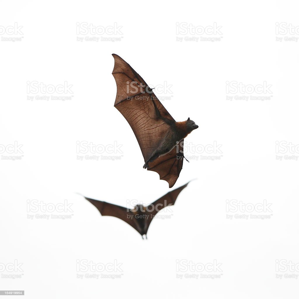 Two brown bats flying on white background stock photo