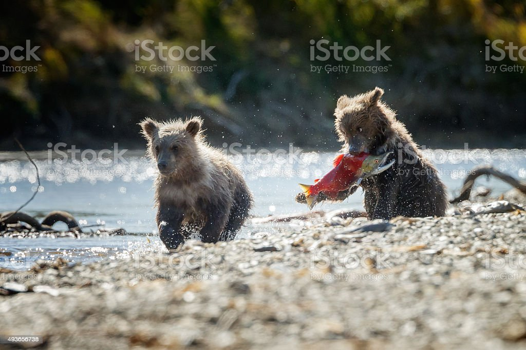Two brown bear cubs stock photo
