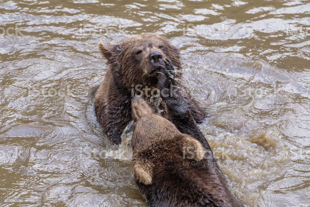 Two brown bear pups play in the water. Closeup portrait of brown...