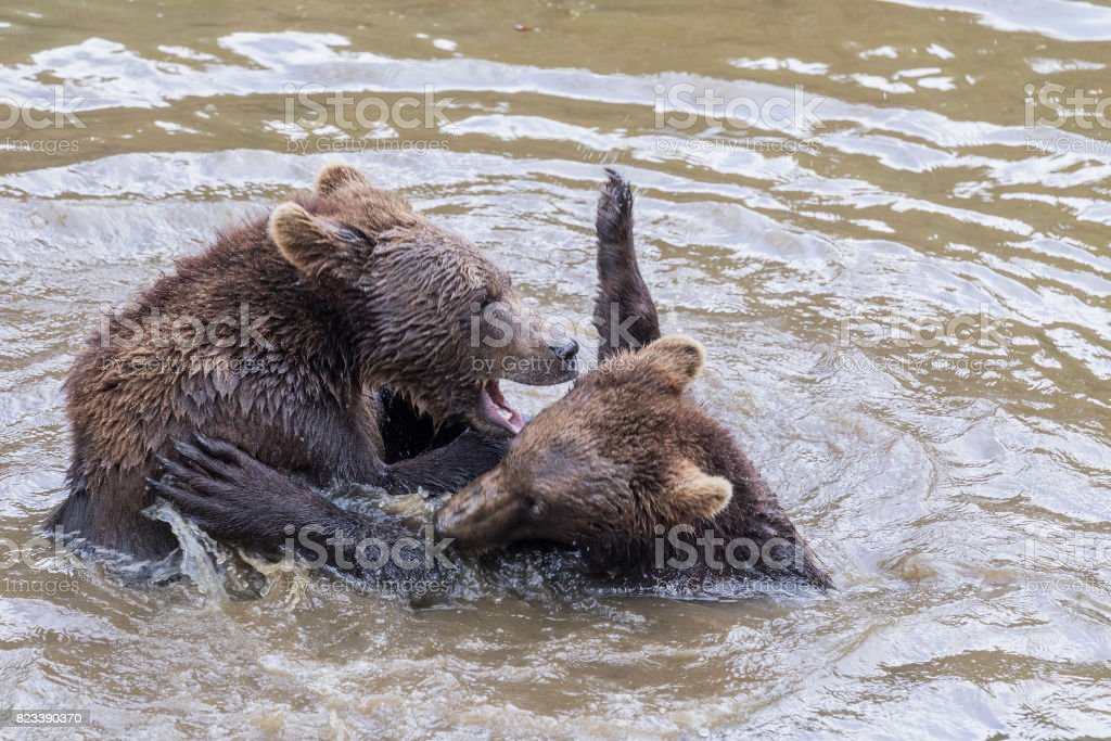 Two brown bear pups play in the water. Closeup portrait of brown bear. Baby Brown Bear. Ursus arctos. stock photo