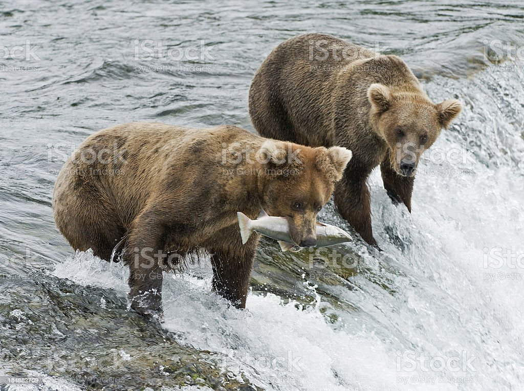 Two brown bears, one with freshly caught salmon stock photo